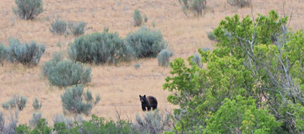 Bear Sighting At The High Lonesome Ranch