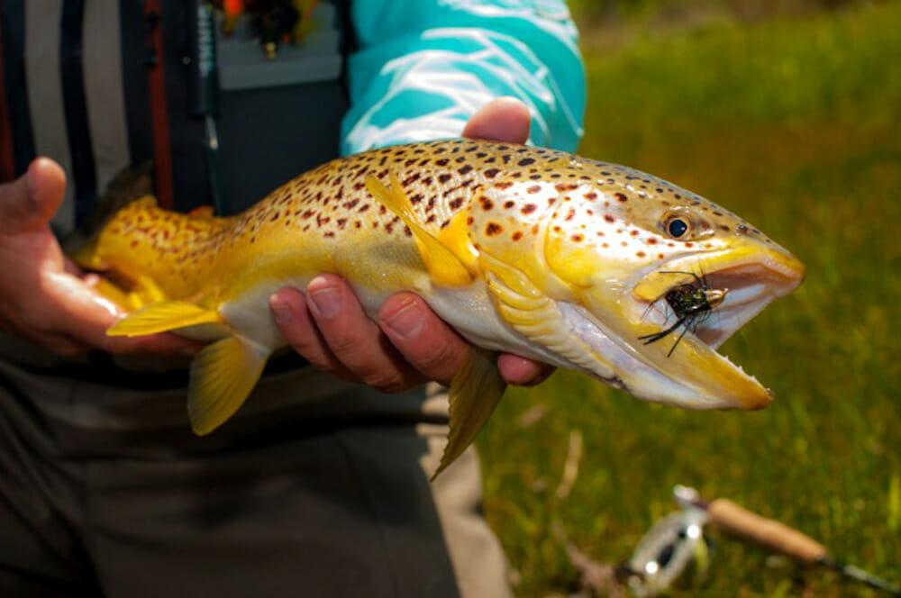Big Brown Trout Fishing In Colorado