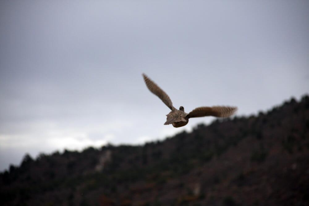 Pheasant Hunting Colorado